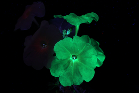 Under UV light