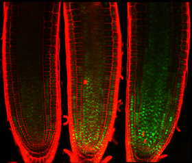 Inhibiting plant cell division. Green spots indicate a transcription factor that accumulates and inhibits cell division upon DNA damage. Researchers found an indispensable role of the transcription factor in arresting plant growth under stressful conditio