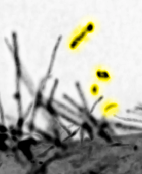 The lattice light sheet microscopic images of the filopodia by expressing the I-BAR domain protein MIM. The vesicles that were released by the scission of MIM-induced filopodia are highlighted by yellow. The microscope locates at Mimori-Kiyosue lab,RIKEN.