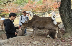Welcomed by many deer around Nara Park