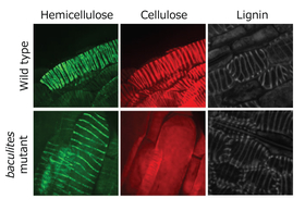 Patterns of different polymers in xylem cells.