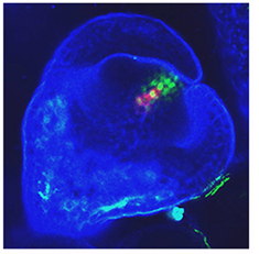 KNUCKLES and WUSCHEL expression are seen to colocalize in the nucleus to suppress floral stem cell activation.